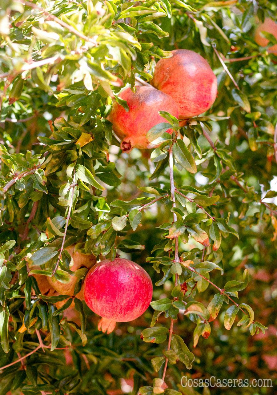 Un árbol de granadas con varias frutas rojas